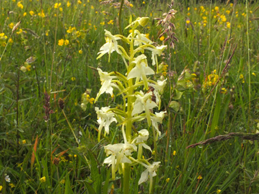 Orchid in meadow at PCP for website